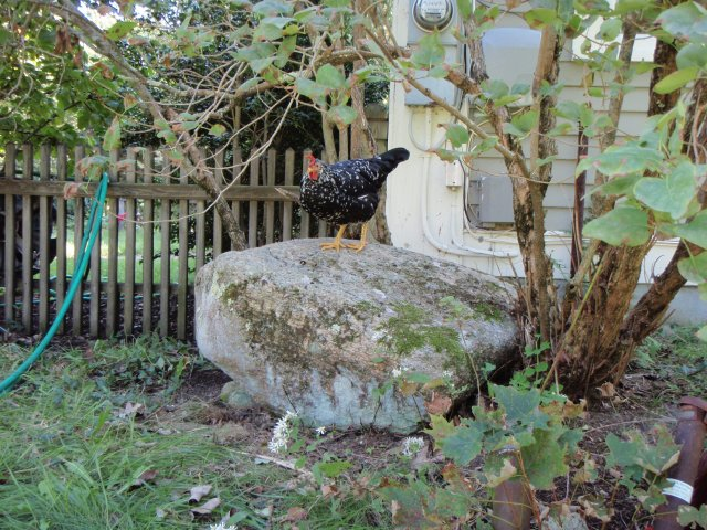 Chicken on rock