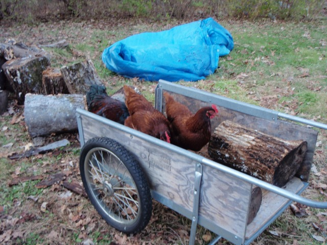 Chickens in cart