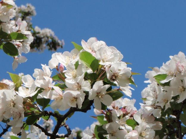 Crabapple and bee