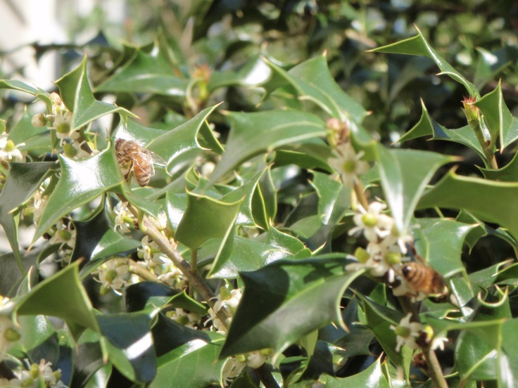 Bees on holly