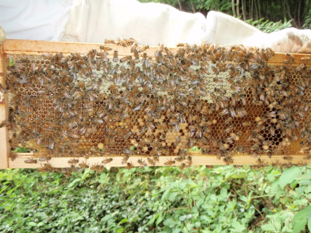 Honey surrounding brood