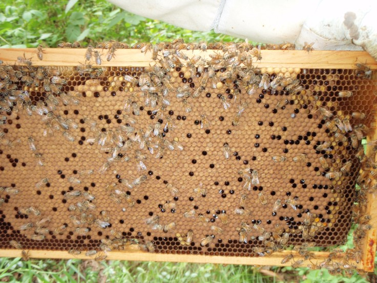 Capped brood