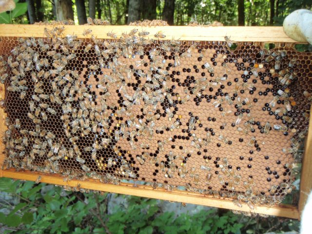 Brood in older, stronger hive