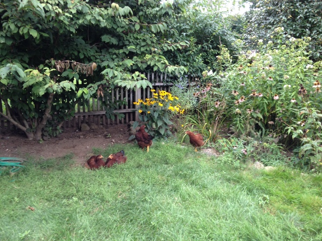 Chicks in the garden