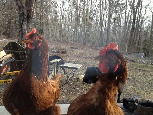 Chickens looking in